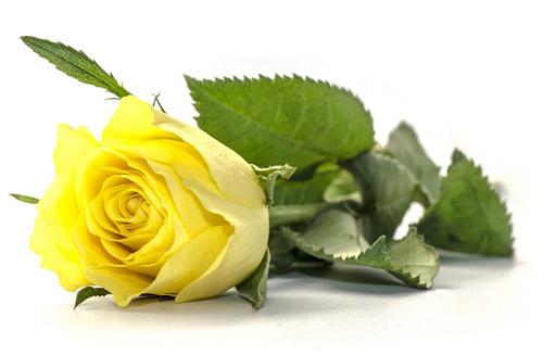Image of cut rose